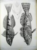 Fishes Plate 16